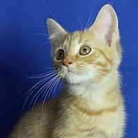 Adopt A Pet :: Peaches - Winston-Salem, NC