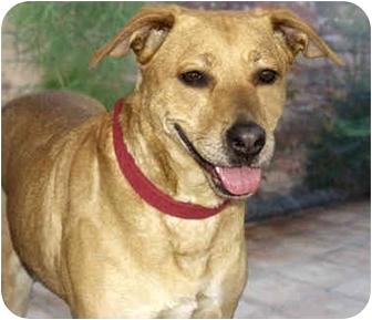 Chesapeake Bay Retriever/Retriever (Unknown Type) Mix Dog for adoption in Marina del Rey, California - Minnie