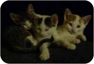 Domestic Shorthair Kitten for adoption in Hamilton, Ontario - Kittens