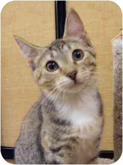 Domestic Shorthair Cat for adoption in Woodstock, Georgia - Lucy