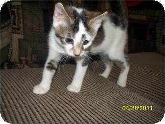 Domestic Shorthair Kitten for adoption in Oak Lawn, Illinois - Olive