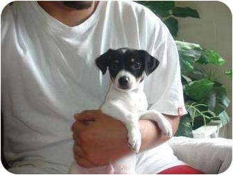 Chihuahua/Dachshund Mix Puppy for adoption in Old Bridge, New Jersey - Rende