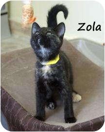 Domestic Shorthair Kitten for adoption in Divide, Colorado - Zola