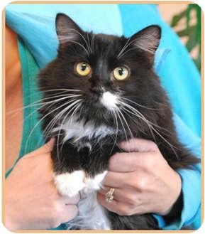 Domestic Mediumhair Cat for adoption in Las Vegas, Nevada - Macy