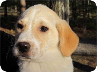 Labrador Retriever Mix Puppy for adoption in Foster, Rhode Island - Murphy