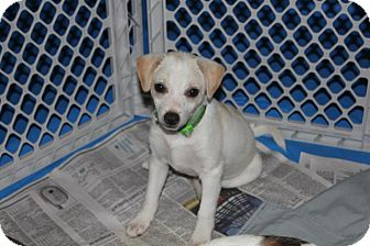 Terrier (Unknown Type, Small) Mix Puppy for adoption in Groton, Massachusetts - Wuffgang Mozart