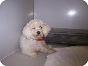 Bichon Frise Mix Dog for adoption in Olathe, Kansas - Abby