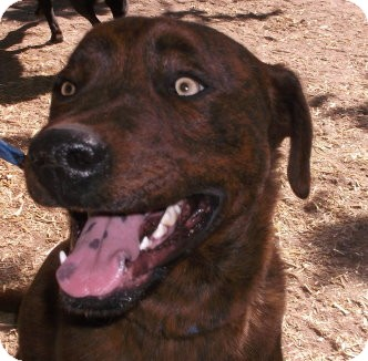 Chow Chow/Labrador Retriever Mix Dog for adoption in Pie Town, New Mexico - CHACO