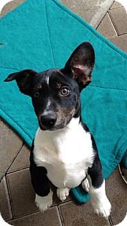 Corgi/Beagle Mix Puppy for adoption in El Segundo, California - Leo