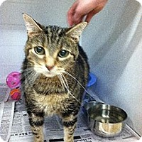 Domestic Shorthair Cat for adoption in Colfax, Illinois - Bandit