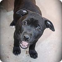 Adopt A Pet :: Layla - Cypress, CA
