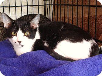 Domestic Mediumhair Cat for adoption in Los Angeles, California - BLUE