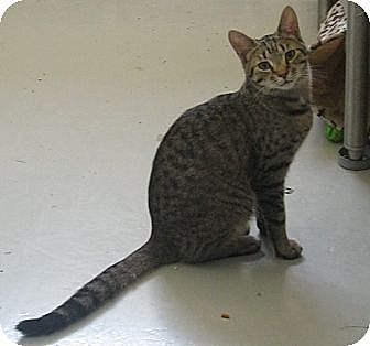 Domestic Mediumhair Kitten for adoption in Manning, South Carolina - Web