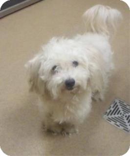 Maltese Mix Dog for adoption in Las Vegas, Nevada - Boy Boy