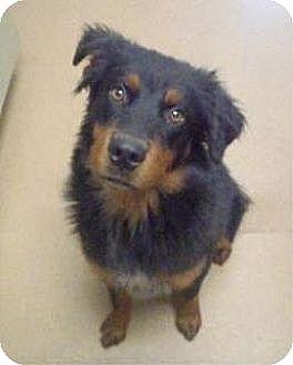 Australian Shepherd Mix Dog for adoption in Las Vegas, Nevada - Alan