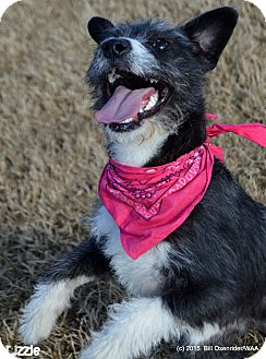 Miniature Schnauzer/Terrier (Unknown Type, Small) Mix Puppy for adoption in Patterson, California - Lizzie