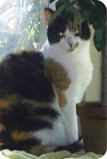 Domestic Mediumhair Cat for adoption in Oakland, California - LuLu