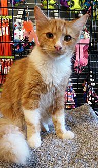 Domestic Mediumhair Kitten for adoption in San Ramon, California - Mineo