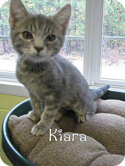 Domestic Shorthair Kitten for adoption in Jackson, New Jersey - Kiara