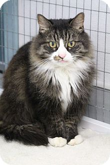 Domestic Mediumhair Cat for adoption in Medfield, Massachusetts - Cheri