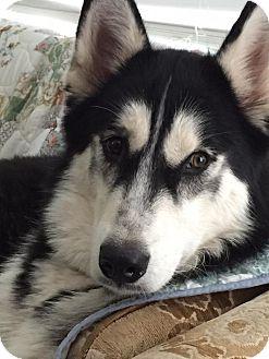 Alaskan Malamute/Siberian Husky Mix Puppy for adoption in Elkhart, Indiana - Max