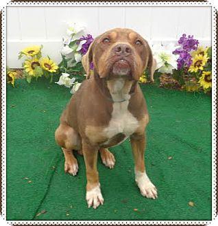 Rottweiler Mix Dog for adoption in Marietta, Georgia - TEAK