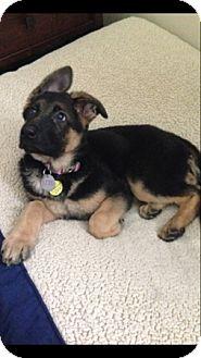 German Shepherd Dog Puppy for adoption in Sacramento, California - Izze