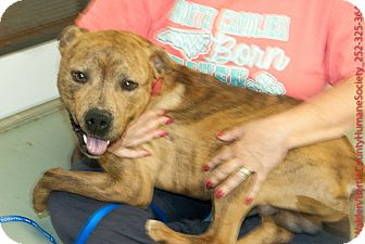 Pit Bull Terrier Mix Dog for adoption in Powellsville, North Carolina - BUSTER