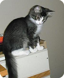 Domestic Mediumhair Kitten for adoption in Columbus, Ohio - Evan