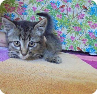 Domestic Shorthair Kitten for adoption in Rapid City, South Dakota - Funny Man