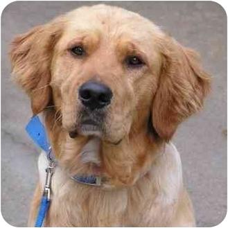 Golden Retriever Dog for adoption in Brodheadsville, Pennsylvania - Finley