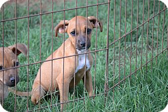 Boxer/Terrier (Unknown Type, Medium) Mix Puppy for adoption in Pikeville, Maryland - Phoebe