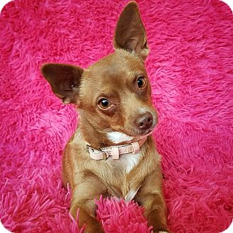 Chihuahua Mix Dog for adoption in Las Vegas, Nevada - Colleen