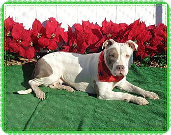 Pit Bull Terrier/American Pit Bull Terrier Mix Dog for adoption in Marietta, Georgia - SARAH-reclaimed