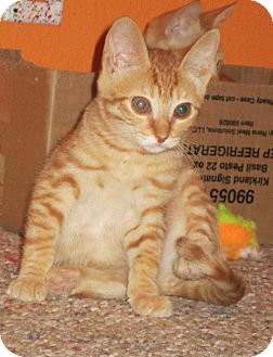 Domestic Shorthair Kitten for adoption in Vacaville, California - Spice