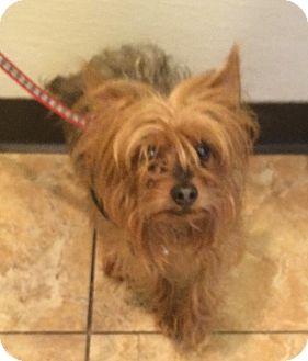 Yorkie, Yorkshire Terrier Dog for adoption in Oak Ridge, New Jersey - Kyle