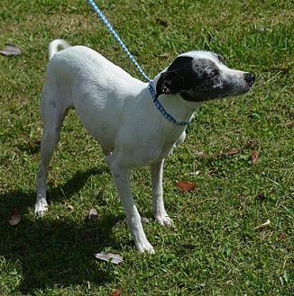 Whippet/Italian Greyhound Mix Dog for adoption in Brunswick, Maine - Gracelyn