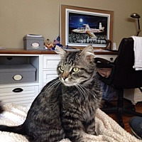Domestic Mediumhair Cat for adoption in Marina Del Ray, California - Bob