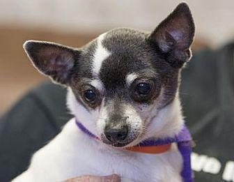 Chihuahua Mix Dog for adoption in Colorado Springs, Colorado - Bonnet