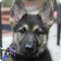 German Shepherd Dog Mix Puppy for adoption in Los Angeles, California - Scarlet von Saarlouis