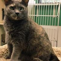 Domestic Shorthair/Domestic Shorthair Mix Cat for adoption in Greensboro, North Carolina - Isabella