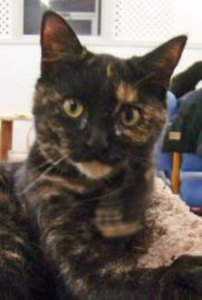Domestic Shorthair/Domestic Shorthair Mix Cat for adoption in Greenfield, Indiana - Estee