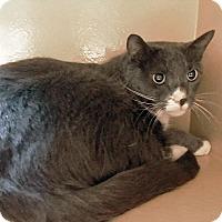 Adopt A Pet :: Lil Bear - Arlington/Ft Worth, TX