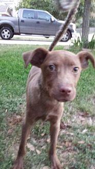 Retriever (Unknown Type)/Terrier (Unknown Type, Medium) Mix Puppy for adoption in Olympia, Washington - Leo1