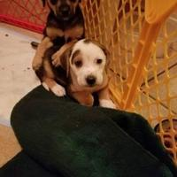 Adopt A Pet :: olive - Fairfax Station, VA