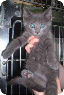 Domestic Shorthair Kitten for adoption in Honesdale, Pennsylvania - CT