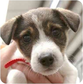 Terrier (Unknown Type, Medium) Mix Puppy for adoption in Phoenix, Oregon - Peanut
