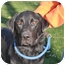 Photo 1 - Labrador Retriever Dog for adoption in Lewisville, Indiana - Jack
