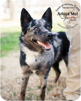 Australian Cattle Dog Mix Dog for adoption in Hickory Creek, Texas - Sadie