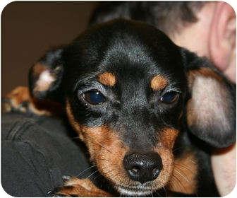 Miniature Pinscher Mix Puppy for adoption in Newtown, Connecticut - Little Patty